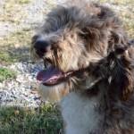 Female Ausiedoodle Dog