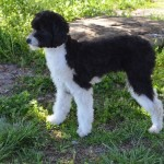 Male Aussiedoodle Breeder Double R Doodles