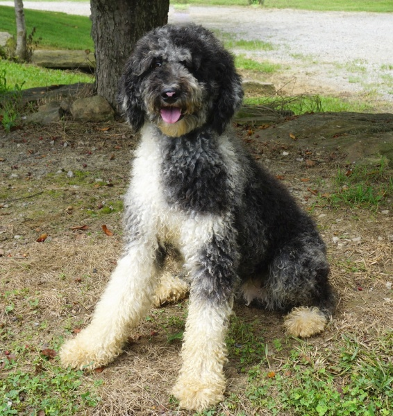 Aussie Female Puppies from Double R Doodles