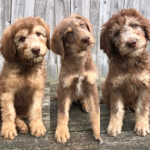Our Available Hypoallergenic Shepadoodle Puppies Double R