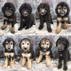 German Shepaussiedoodle Puppies