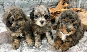 Standard Aussiedoodle Puppies